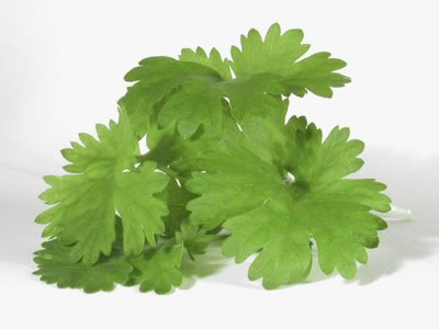 what-is-cilantro-1